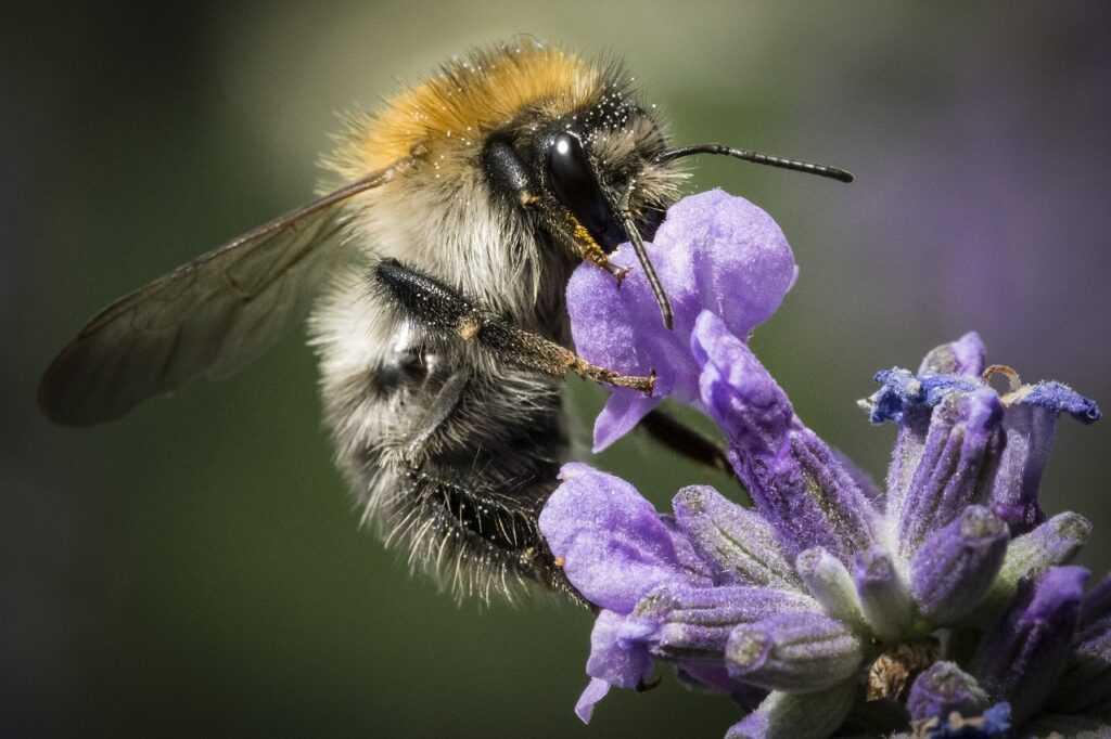 Come si ricava il veleno di ape?